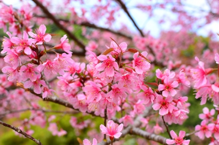 Full Bloom Cherry Blossom photo