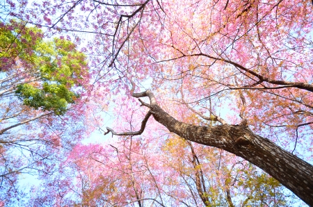 Full Bloom Cherry Blossom