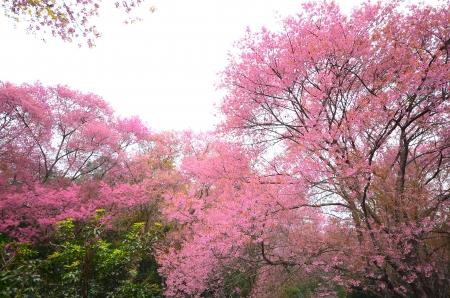 Cherry Blossom Tree Stock Photo - 25243660