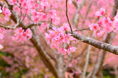 Superb Pink Full Bloom Cherry Blossom Stock Photo - 25243613