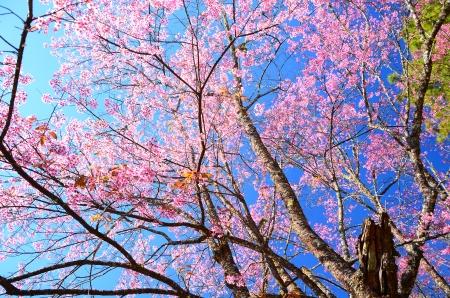 Cherry Blossom Branch Stock Photo - 25359377