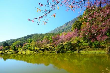 cherry blossom in japan: Cherry Blossom Beside the Lake