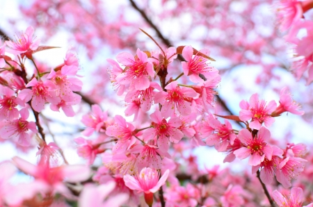 Superb Pink Full Bloom Cherry Blossom photo