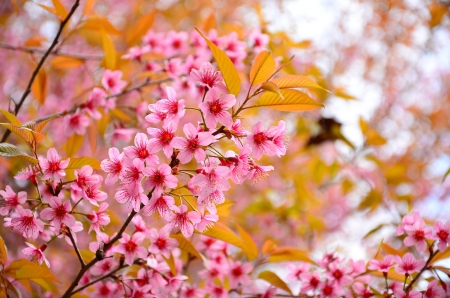 Cherry Blossom in Spring SeasonCherry Blossom in Spring Season Stock Photo - 25359482