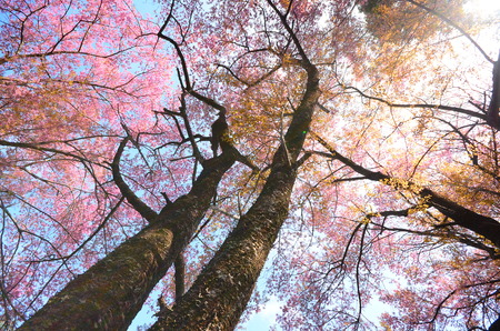 Cherry Blossom in Spring Season photo