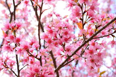 flor de cerezo: Primavera de flor de cerezo Foto de archivo