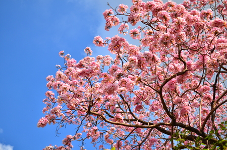 Spring Pink Flowers - Tabebuia photo