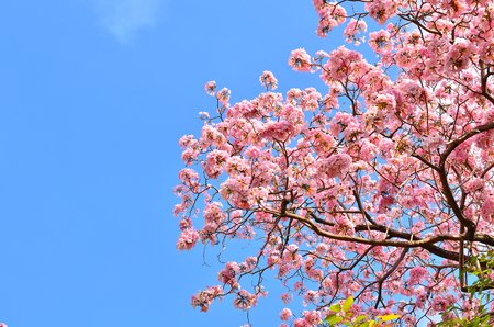 Spring Pink Flowers - Tabebuia Stock Photo - 25719065