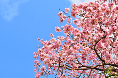 Spring Tabebuia Flowers photo