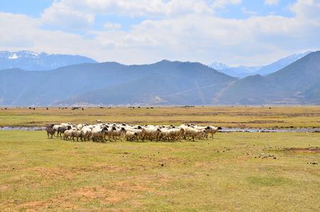 Group of Sheeps at Grassland Savanna Landscape photo