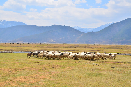 Group of Sheeps at Grassland Savanna Landscape photo