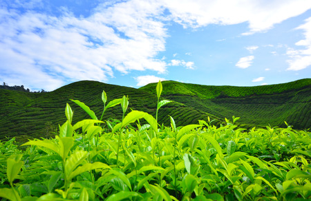 Tea Plantations on Mountain Terrace Fields  photo