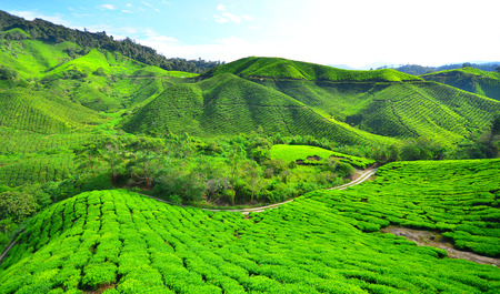 Tea Plantation Fields on Mountain photo