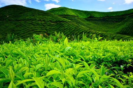 Tea Plantation Fields on Mountain