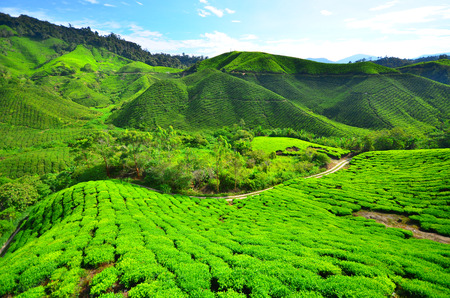Tea Plantation Fields photo