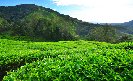 Green Tea Plantation Fields photo