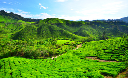 Green Tea Plantation Fields