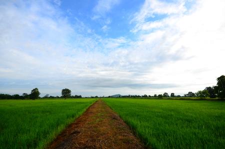 paddy: Rice Paddy Fields at Morning Sunrise