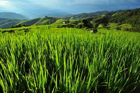 Rice Paddy Fields photo