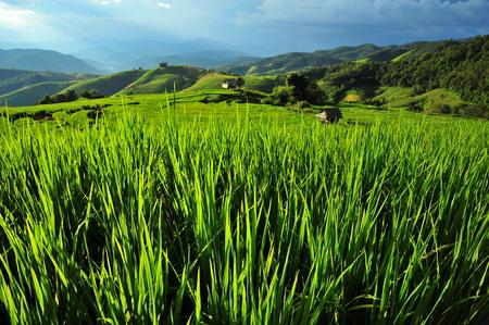 Rice Paddy Leafs photo