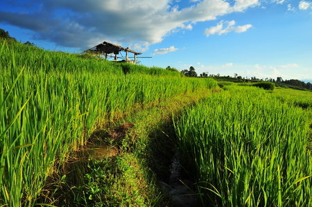 Rice Paddy Fields photo