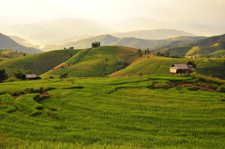 Rice Paddy Plants on Terraced Fields photo