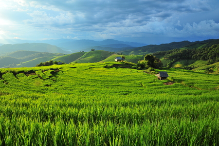 Rice Paddy Plants on Terraced Fields photo