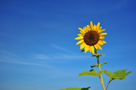 blue  backgrounds: Sunflowers with Blue Sky Backgrounds
