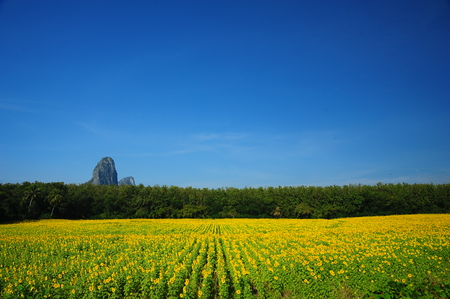 Sunflower Fields in Spring Season photo