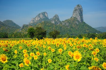 Sunflower Fields in Spring Season