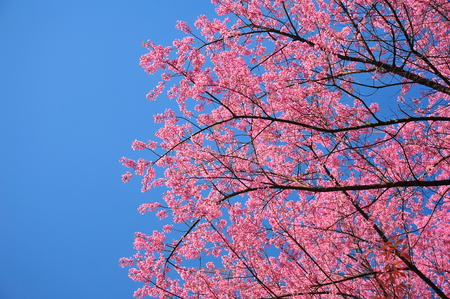 Superb Pink Cherry Blossoms in Springtime photo