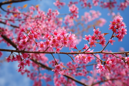 Superb Pink Cherry Blossoms with Blue Sky Backgrounds photo