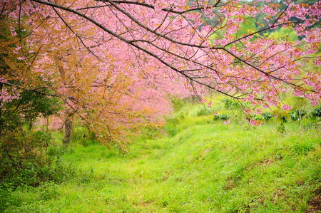 Cherry Blossom Trees in Spring Season photo