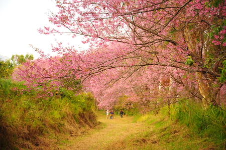 Superb Pink Cherry Blossoms in Spring Season