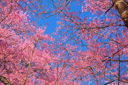 Pink Sakura Flowers in Spring Season photo