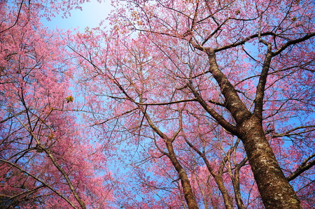 Pink Cherry Blossoms Branches in Spring Season photo