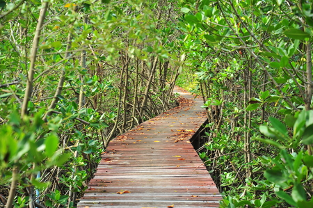 forest park: Wooden Pathway in Mangrove Forests