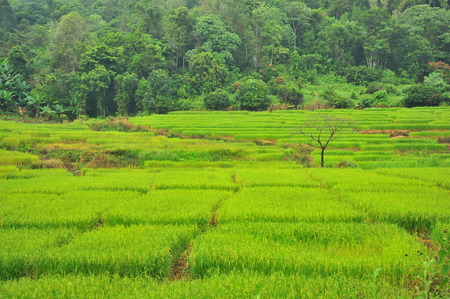 green fields: Rice Paddy Fields in Green Season Stock Photo