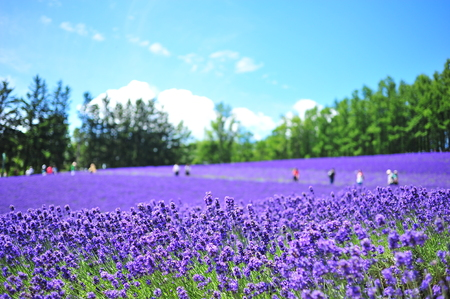 Colorful Lavender Flower Fields Stock Photo