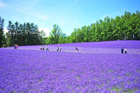 fiori di lavanda: Lavender Flower Fields a Hokkaido, Giappone Archivio Fotografico