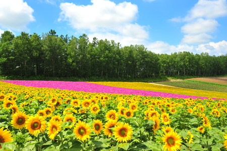 Colorful Flower Fields at Countryside of Japan