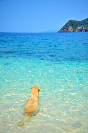 Golden Retriever Dog Relaxing on Beach Stock Photo