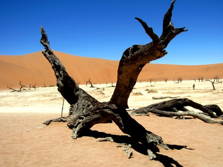 Dead Acacia Tree Stump in hidden Death Valley in Sossusvlei with blue sky and sand dunes