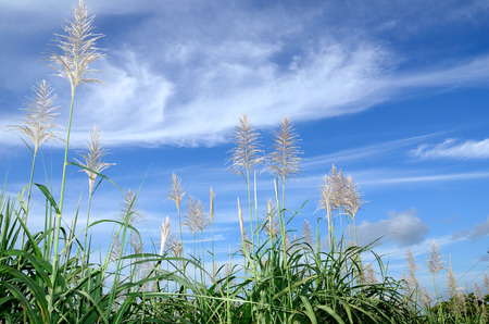 sugar cane: Sugar cane flowers Stock Photo