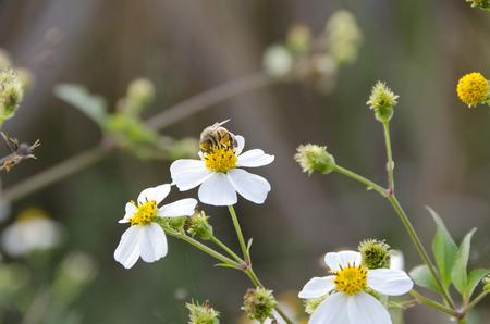 コシロノセンダングサと萼をセンダングサ属します。 写真素材