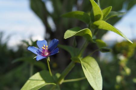 Blue Pimpernel - Anagallis arvensis foemina