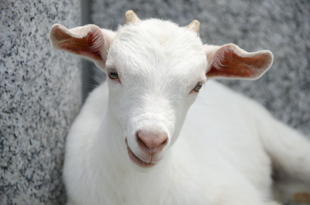 baby goat: baby goat, mountain goat, facial Stock Photo