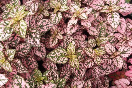물방울 식물 (HYPOESTES PHYLLOSTACHYA)이라고 불리는 장식용 잎 식물 스톡 콘텐츠