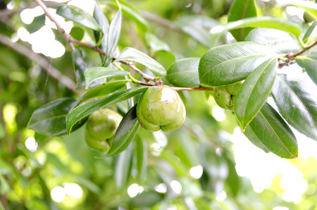 camellia japonica: Fruit of Camellia japonica
