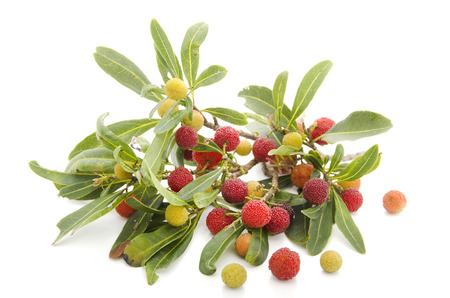arboreal: Bayberry, wax myrtle, myrica rubra Stock Photo